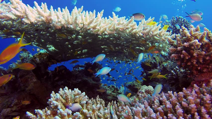 Colorful Fishes with Table Coral and Divers Bubbles. Beautiful underwater damselfish, cardinalfish and colorful table coral with divers bubbles in the tropical reef of the Red Sea, Dahab, Egypt.