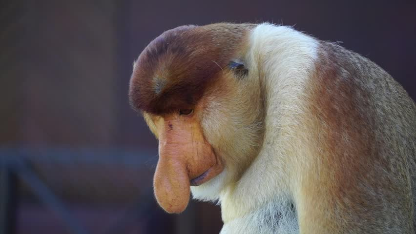 Footage of close up wild proboscis monkey at Labuk Bay Proboscis Monkey Sanctuary in Sandakan Sabah Borneo Malaysia.