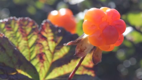 Cloudberry in the mountains. Urals, July. Macro2.
