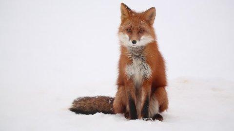 Fox Relax