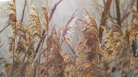 Wind Blowing Against Dried Reeds on a Winter Cold Day Weighing The Reeds Down