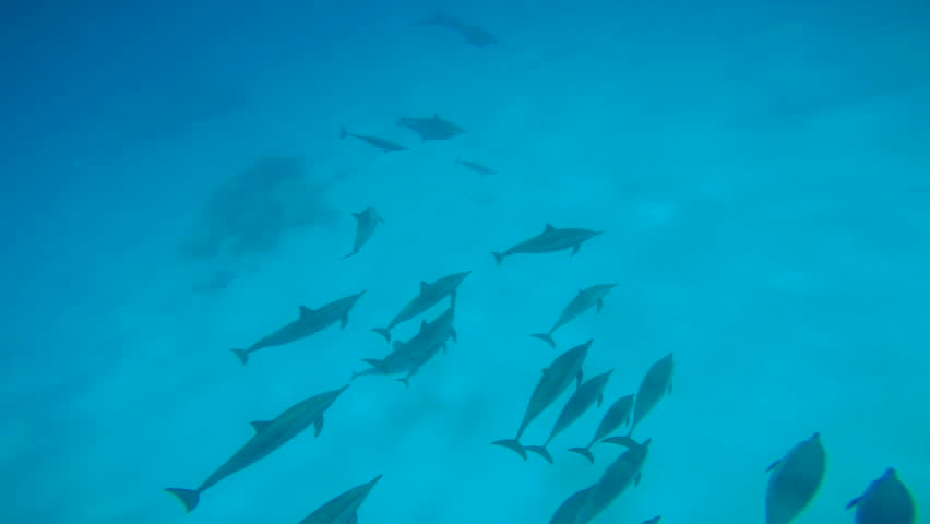 Dolphins mating season. Excellent scuba diving in the Red sea near Egypt.    Shutterstock HD Video #23422633