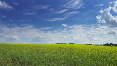 beautiful flowering rapeseed field under blue sky, timelapse 4k