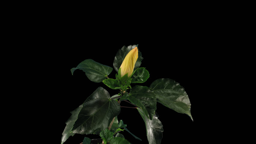 Time-lapse of opening white chinese rose (Hibiscus) 9a4 in 4K PNG+