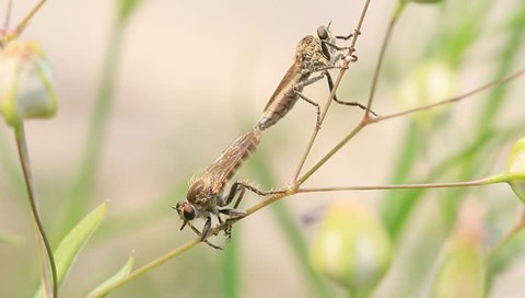 robber flies mating on plant stem in the wild, china