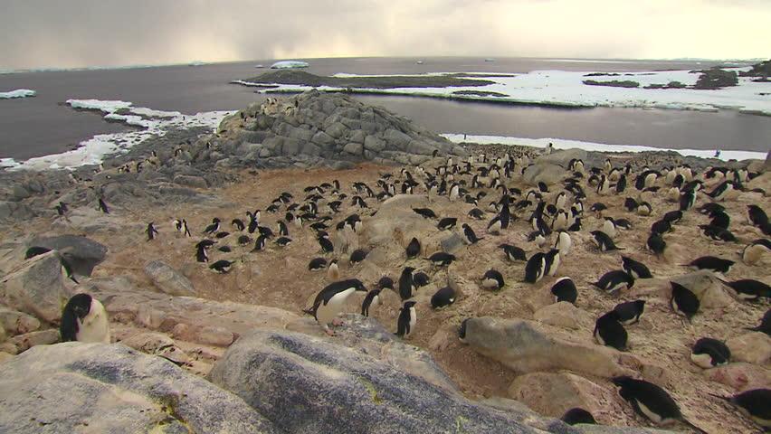 Anarctica Adelie Penguins