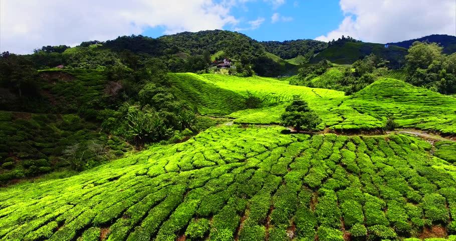 Aerial. Beautiful landscape at tea plantation. Cameron Highlands, Malaysia.