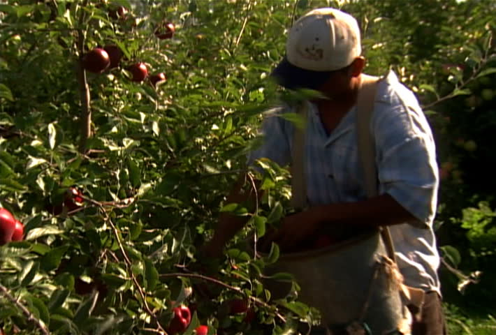 Farm worker picks apples