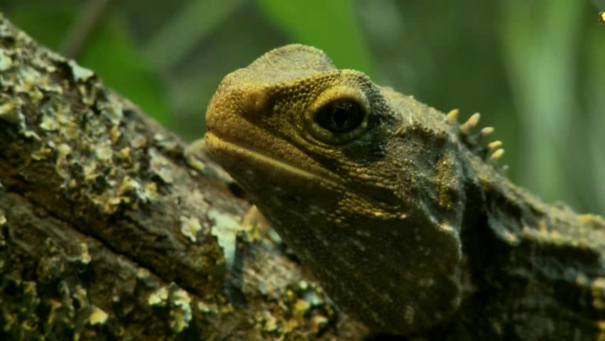 Close up a Tuatara showing its skin textures. Tuatara's are an endangered species of lizard living in New Zealand