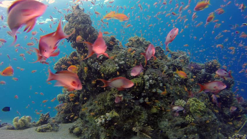 Beautiful Underwater Corals and Tropical Colorful Fishes. Picture of a wonderful and beautiful underwater colorful fishes and corals in the tropical reef of the Red Sea, Dahab, Egypt.