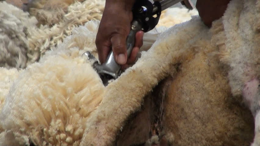 Sheep shearing - Traditional - Sheep shearing is the process by which the woollen fleece of a sheep is cut off - Patagonia - Argentina