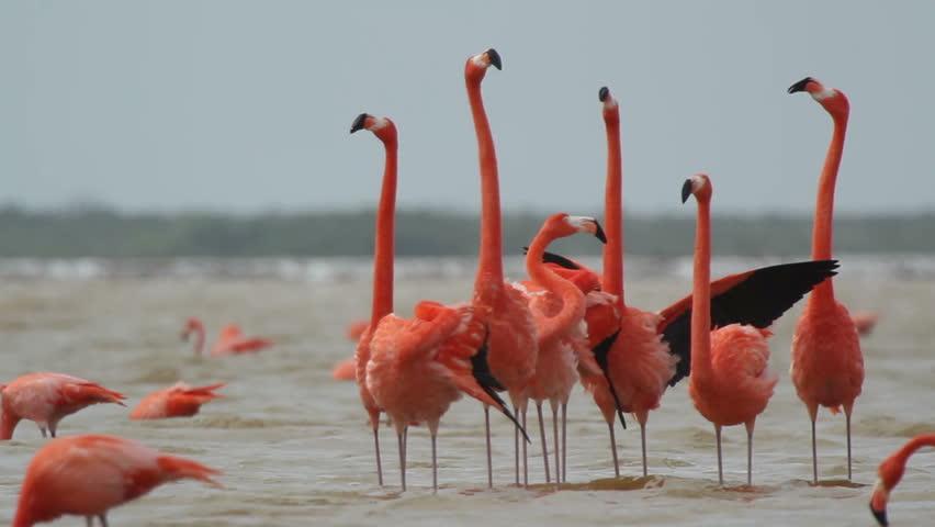 Flamingos rosados, especies típicas del Caribe Mexicano