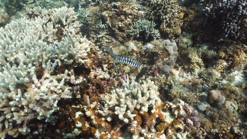 Sea snake on coral reef. Banded Sea Snake underwater.Wonderful and beautiful underwater world. Diving and snorkeling in the tropical sea. 4K video. #23750401