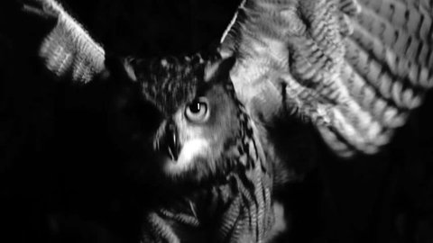 Extraordinary shot of eagle owl flapping its wings in the scary night. Black and white shot. Fear.