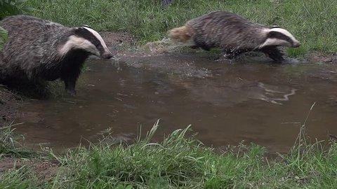 European Badger, meles meles, Pair running through Water, Normandy, Slow motion