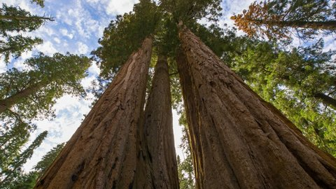 Motion controlled timelapse low angle tracking shot with dolly left, pan right & zoom in motion of Giant Sequoia trunk in Sequoia National Park, California
