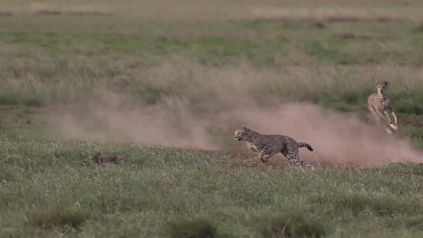 Cheetah running chasing a rabbit in Amboseli, Kenya Shot in super slow motion using Sony FS700 at 240 fps FHD #23983753