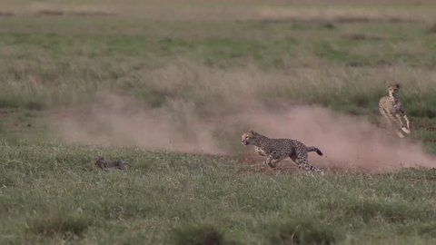 Cheetah running chasing a rabbit in Amboseli, Kenya Shot in super slow motion using Sony FS700 at 240 fps FHD