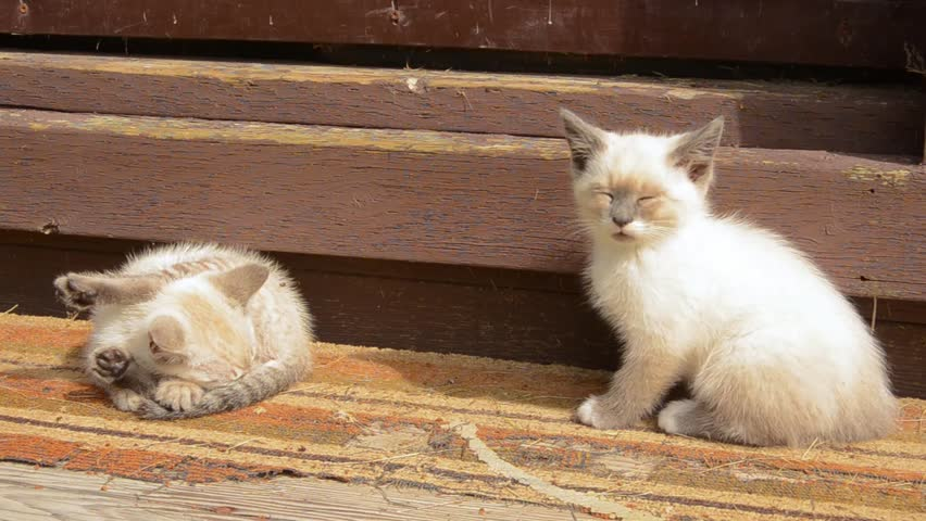 Feral siamese cross kittens playing in the sun on old shed steps