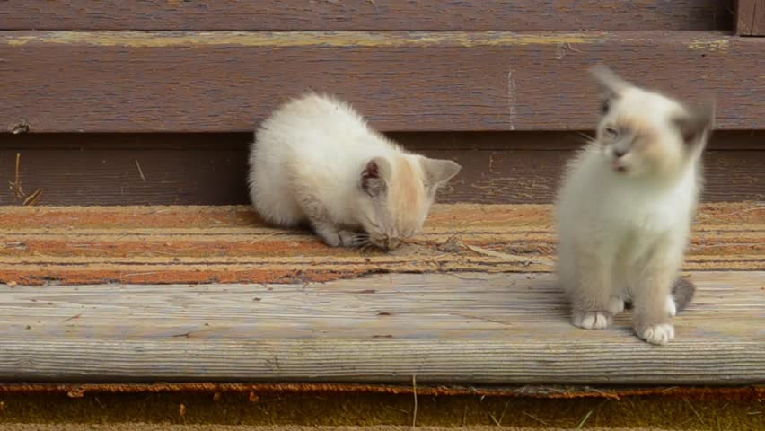 Feral siamese cross kittens playing in the sun on old shed steps | Shutterstock HD Video #23991466