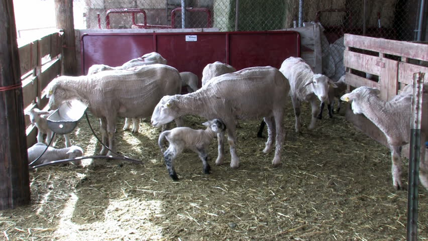 Newborn lambs with the ewe. Feeding of mother. Close up of lambs and sheep. Three lambs feeding. Central Utah.