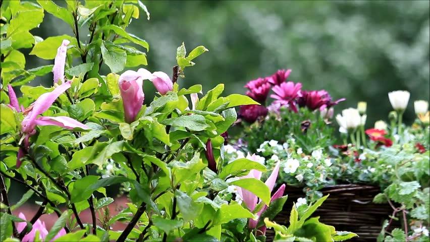 Raindrops on the garden flowers  | Shutterstock HD Video #24015313