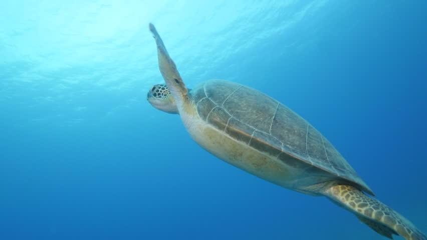 turtle underwater  #24041143