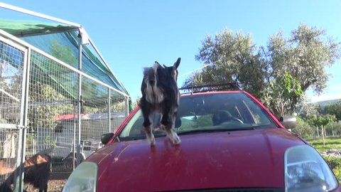 Goat Plays on a Car