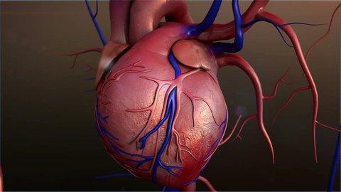 Human heart, Human heart model, Full clipping path included, Heart Anatomy, 4K animation of  Human heart