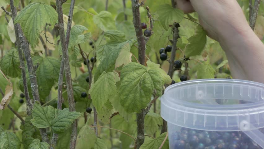 Ungraded: Currant leaf. Woman collects black currants, cutting berries from the bush and throwing them into a plastic bucket. Hands close-up. (av30953u)