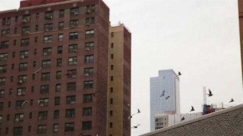 Large flock of pigeons flying in for a landing, New York City apartment buildings