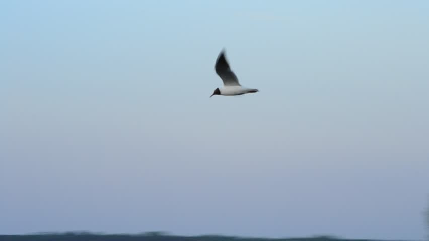 Seagull flies over calm water surface on Dnieper river on background grey sky