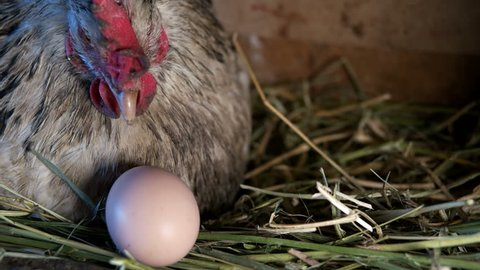 chicken with eggs in the henhouse