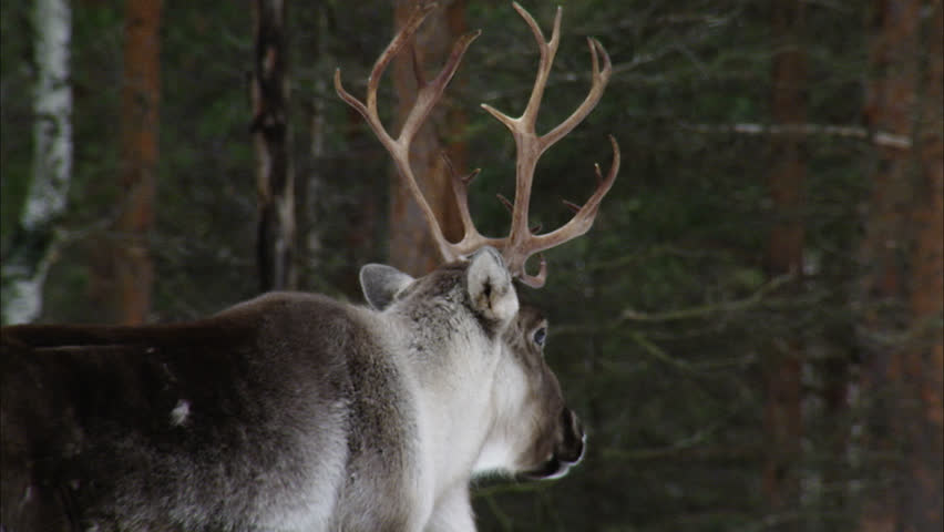 Header of reindeer