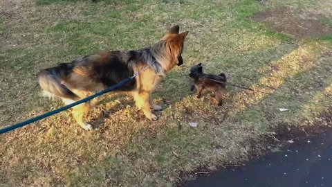 A big dog and a small dog body language as they meet for the first time.