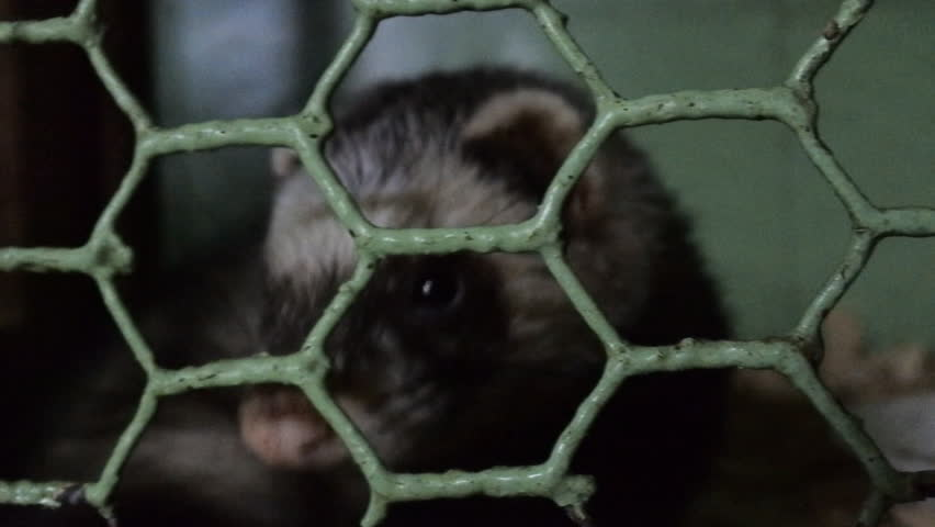 Horrible conditions of animals in little zoos of Asian. European polecat (Mustela putorius)