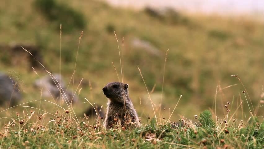 Header of marmot