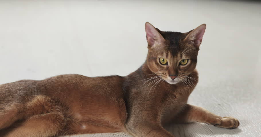 Slow motion of abyssinian cat lying on the floor looking to camera, 4k 60fps prores footage #24550943