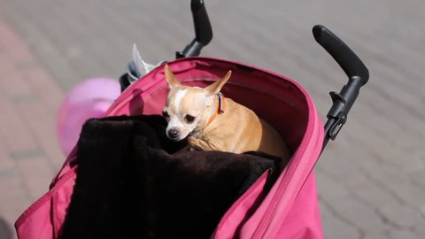 frightened chihuahua dog sitting in pink baby pram and shakes