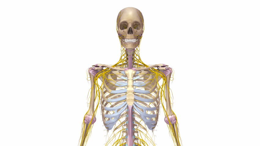 skeleton with veins and nerves stock footage video 6181769, Skeleton