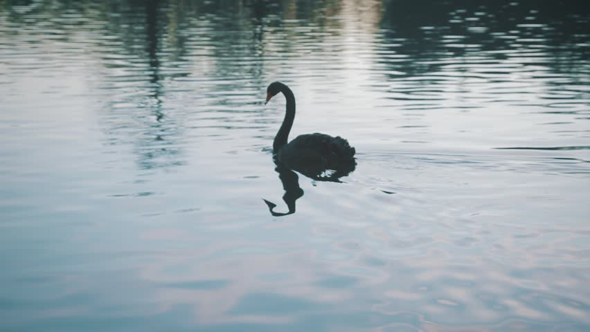 Black swan swimming in a river #24596963