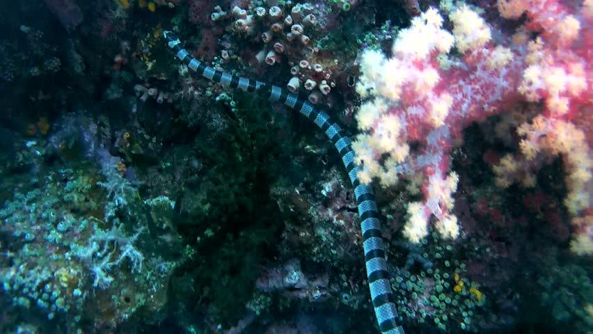 Black-banded Sea Krait or blue-lipped sea krait - Laticauda laticaudata, swims by coral reef, Oceania, Indonesia, Southeast Asia | Shutterstock HD Video #24635513