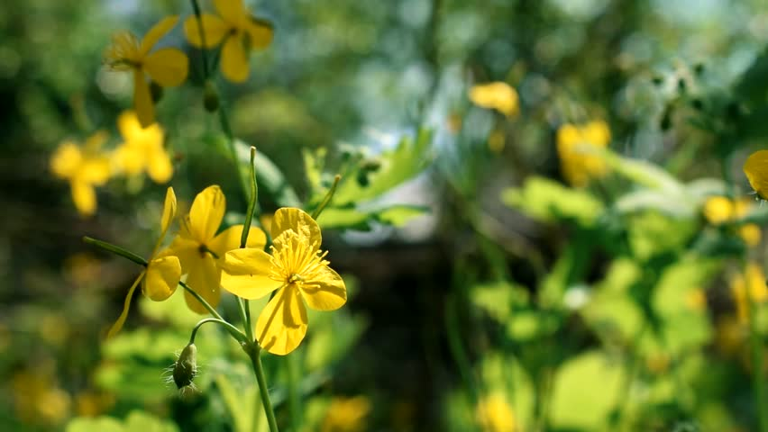 Flower of greater celandine on blurred background. Chelidonium majus. Yellow flower of greater celandine swinging blown by wind in spring