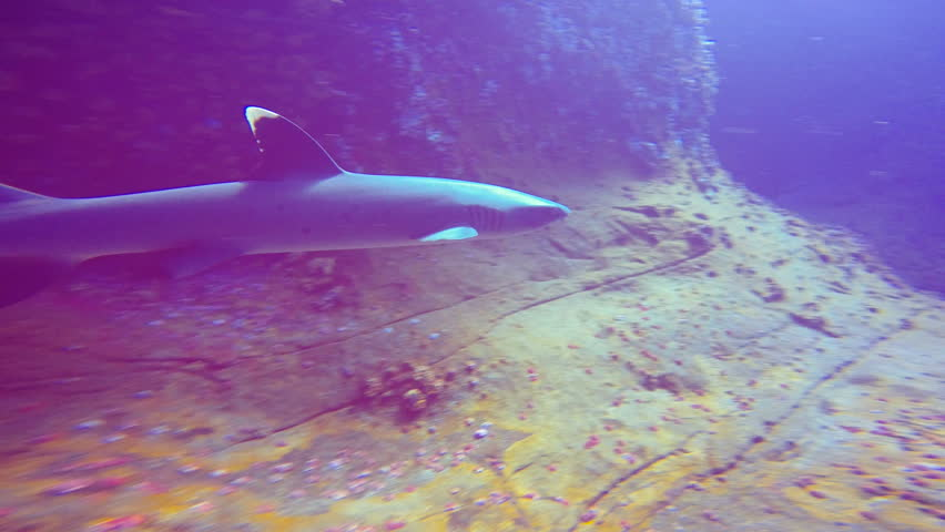 Exciting shark diving off the island of ROCA Partida. Of the Pacific ocean. Mexico. | Shutterstock HD Video #24645233