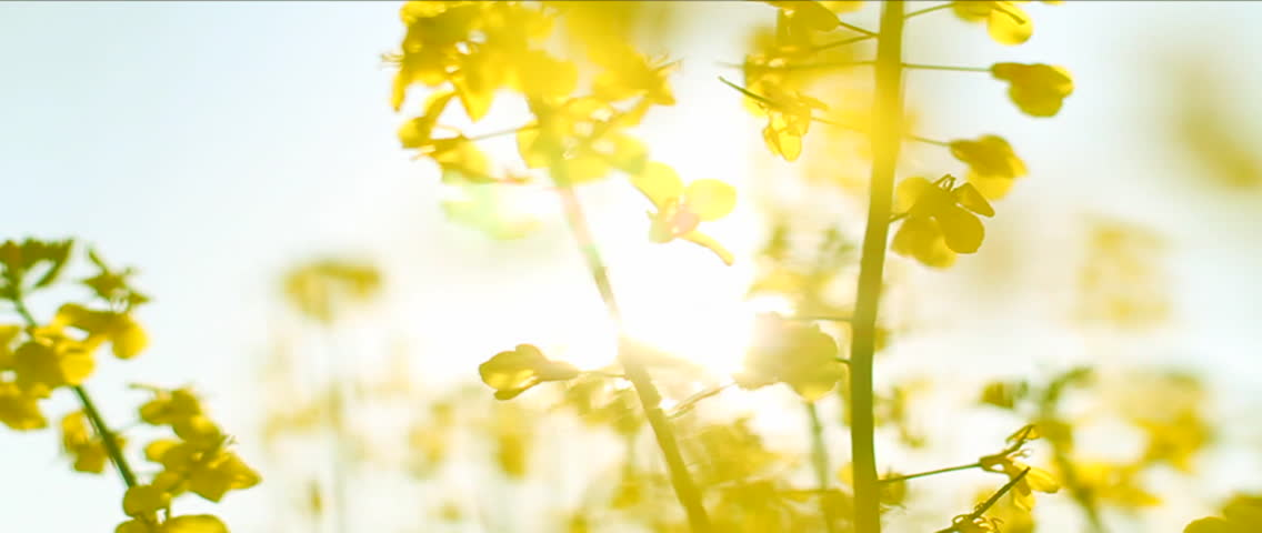 Several Rapeseed stalks. Sunlight shining through, towards the camera. Yellow flowers.