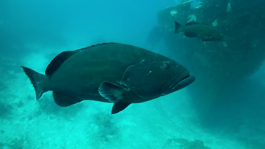 Black grouper swimming slowly over sandy bottom and wreck, roatan