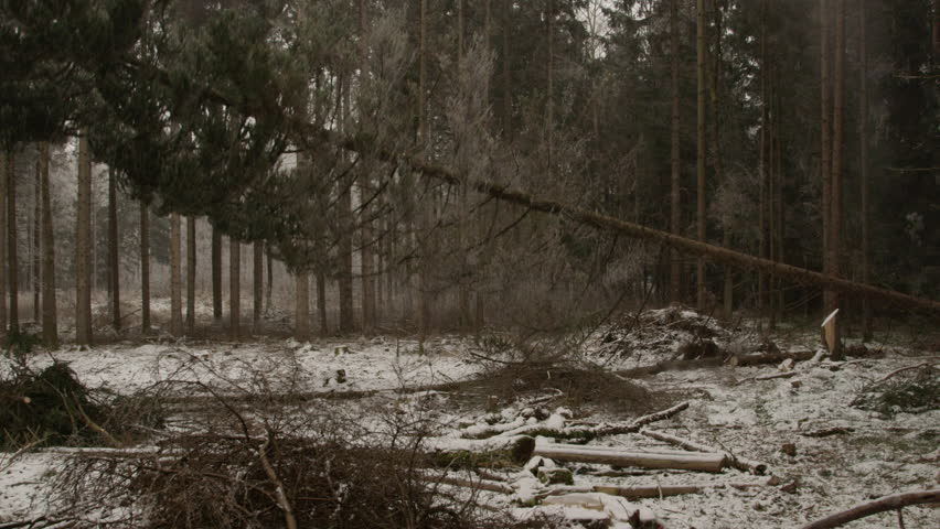 AERIAL, SLOW MOTION: Feller woodchopping spruce and pine trees covered with snow frosts in beautiful forest in the wintertime. Lumberjack logging wood, felling tall spruces.