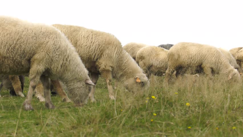 Free photo: Sheep, Herd, Farm, Grass, Field - Free Image on ...