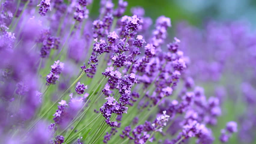 Surprising Lavender Garden Stock Footage Video   Shutterstock With Outstanding Honeybee Collecting Nectar On Lavender  Hd Stock Video Clip With Charming Whitegates Garden Centre Also Garden Shed Roof Felt In Addition Cheap Garden Sofa And Farm And Garden Equipment As Well As Garden Route Activities Attractions Additionally Rococo Garden From Shutterstockcom With   Outstanding Lavender Garden Stock Footage Video   Shutterstock With Charming Honeybee Collecting Nectar On Lavender  Hd Stock Video Clip And Surprising Whitegates Garden Centre Also Garden Shed Roof Felt In Addition Cheap Garden Sofa From Shutterstockcom