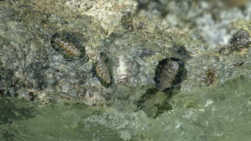 Header of Acanthopleura granulata